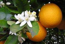 Zagara / è il profumo del nostro Moscato: Fior d'Arancio dei Colli Euganei