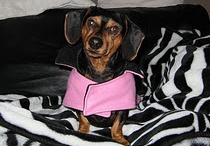 Dogs | Dachshunds / I love Doxies. . . they have huge, colourful personalities that will make you cry with laughter! I am truly a dog lover. . . they make my heart smile through and through <3