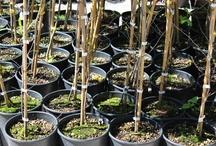 Piante ed Alberi da Frutta - Fruit Trees / Vendita Online Piante ed Alberi da Frutta da Frutta in vaso - Sale Online Fruit Trees in pots - http://store.europlantsvivai.com - http://piantedafrutta.com