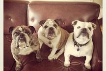 For the love of bulldogs.. / Adopt. Don't shop. Rescue. Social media - ahouseoflosfritos