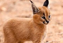 Caracal / animals