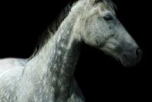 Paarden enzo / by WOLfjes Wereld (Gracia)