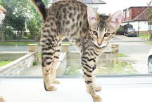 Savannah kittens available 09/16 / Sittingpretty Cats have two litters of F6 SBT Savannah kittens available.  Located in West Yorkshire.  For more information, please visit http://www.sittingprettycats.co.uk/svkittens.html
