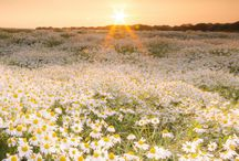 daisy-the flower & more..®