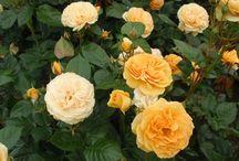 Roses: shades of yellow