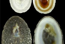 Lottiidae family - limpets