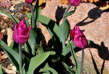 RS tulip garden / Tulip