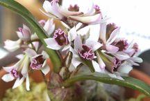 Orquídeas DENDROBIUM
