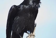 Cor blimey corvids!! / The greatest of characters!