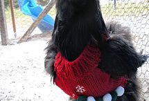 Ways to Keep Your Chickens Warm - Sweaters, Jumpers and more! / by Backyard Chicken Coops