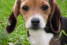 BEAGLES RULE! / Beautiful Beagles.....
