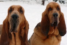 Bloodhound Sweetness / by Avril Kelly