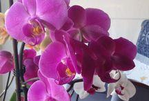 Les meves orquídies