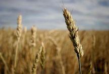 Wheat Free Versus Gluten Free
