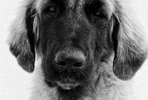 Cachorros de mastín