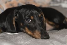 Sausage Dogs / My favourite images of Dachshunds, affectionately known as sausage dogs, doxies, wieners...