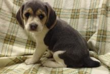 Adorable Beagles / http://www.buckeyepuppies.com/puppies-for-sale-bep/beagle