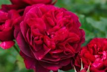 Gardening Mail Order Roses and Plants / Roses and Beautiful Flowers for Floral Arranging Rare Plants