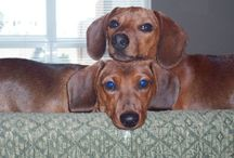 Doxies / by Claudia
