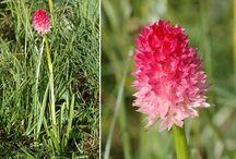 Flore du Queyras / La flore du Queyras