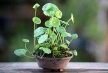 Japan plant love