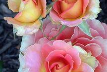 Le Monde des Roses.