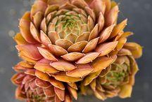 coolplants : Sempervivum