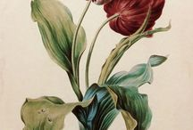 Botanical illustration and art / Botanical illustration , flowers , drawing , watercolors, Botanical art