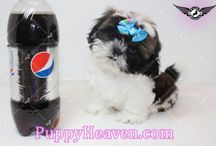 Available puppies in Las Vegas