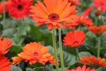 Greenhouse Growings / Flower photos taken at Metrolina Greenhouses, by Metrolina Greenhouses #GreenhouseGrowings