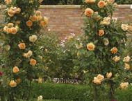růže - květiny