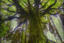 Great tree / 大木、大きな樹木