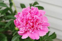 Flowers / Peonies