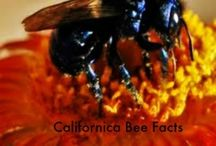 Californica Bees