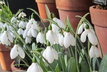 Snowdrops! / Our annual Snowdrop Days celebrate the beauty and minutiae of Snowdrops and other winter flowering plants, 31 Jan - 8 Feb 2015