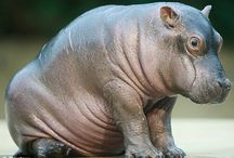 The Cutest Animal You Ever Did See / Hippos are actually the cutest animals out there! ^.^