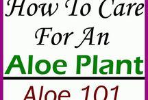 Things Asphodelaceae, the Aloe family