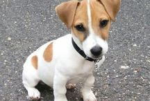 JACK RUSSELS