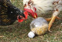Chicken Care - Alive and Well / by Robyn Guptill