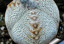 Astrophytum myr.onzuka