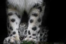 Big cats rock!  / by Debbie Wutsch-Chamberlain