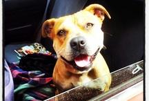 Staffy Love / I love my doggie :D