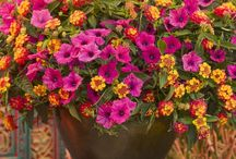 Hot Garden Colors / Do you like bright and bold color in your garden? Plants that really catch the attention of anyone walking by? If so, then here are the plants you'll want to use to add that electric pop of color to your deck, patio or landscape.