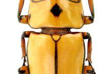 Lucanidae / Stag beetles