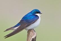 Birds - Swallows / by Ulrike Grace