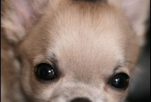 Chihuahuas only / by Nadine Neis