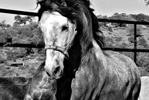 Stallions, Yeguada Losantos