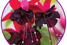 Fuchsia Baskets & How to Feed Them