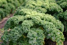Gardening- Kale