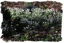 Snowdrops in Kent / by Alkham Court Farmhouse B & B